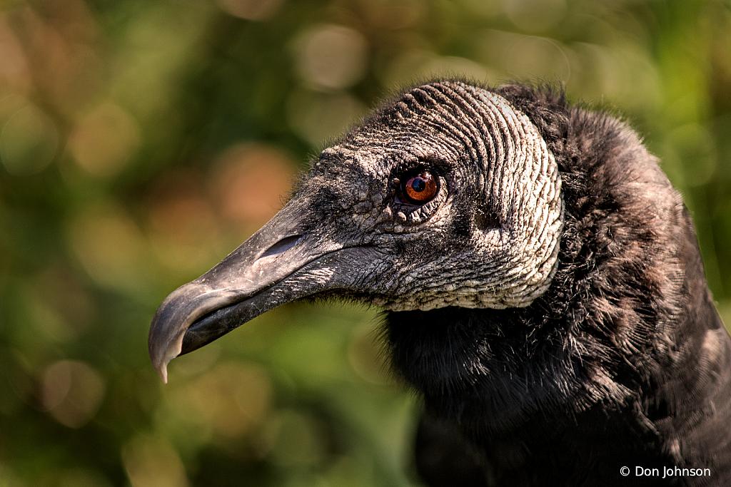 Black Vulture 9-22-19 035
