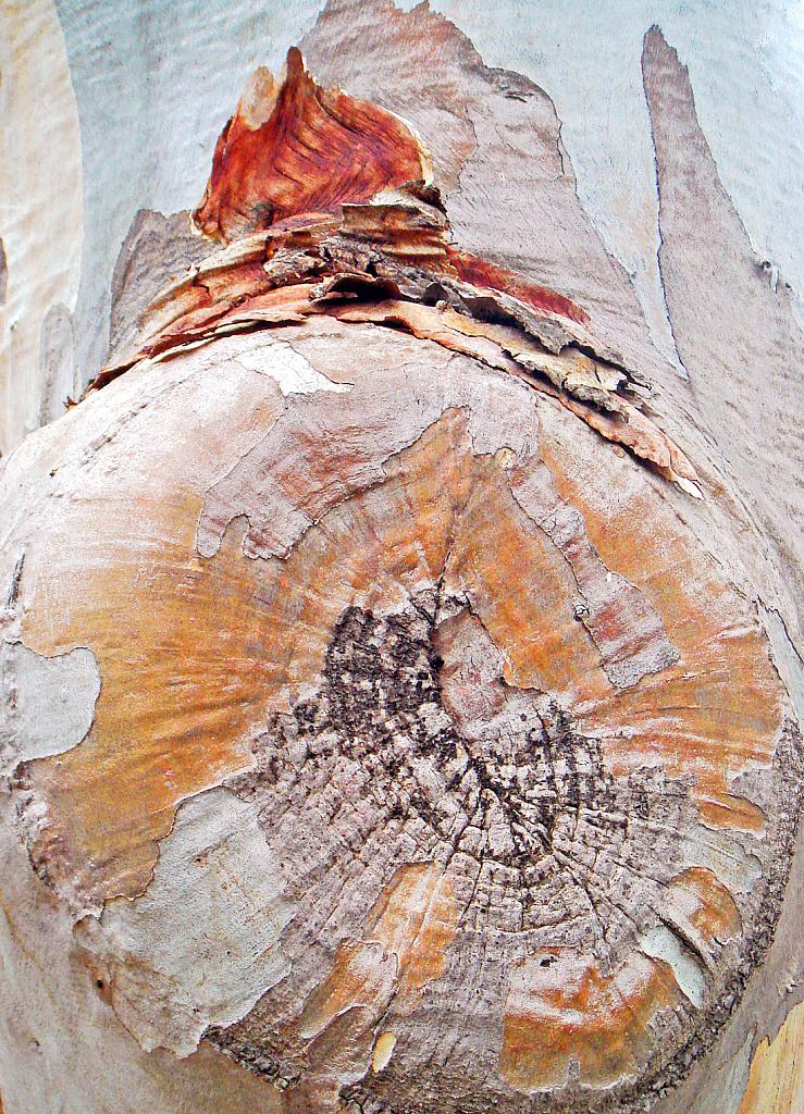 Eucalyptus bark detail.
