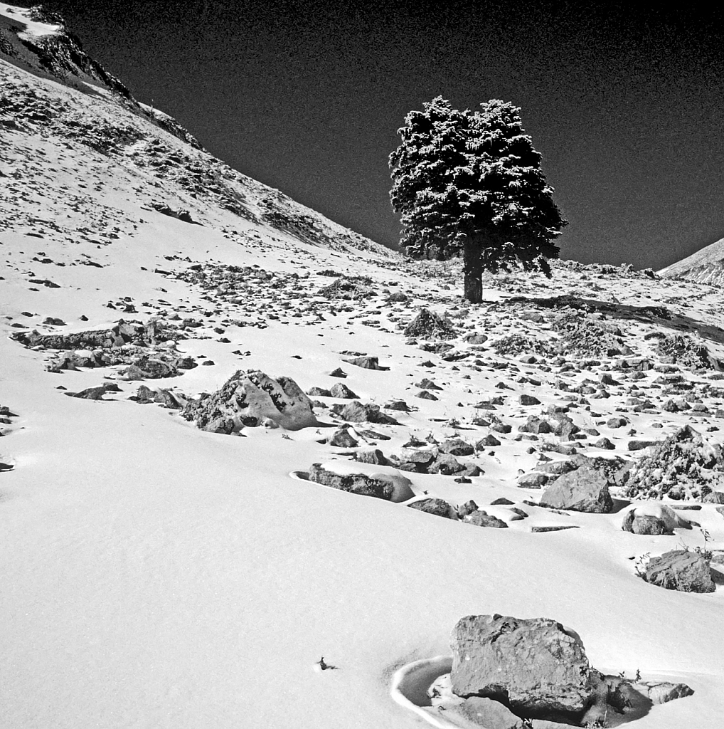 Snowed mountainside and lonely fir-tree.
