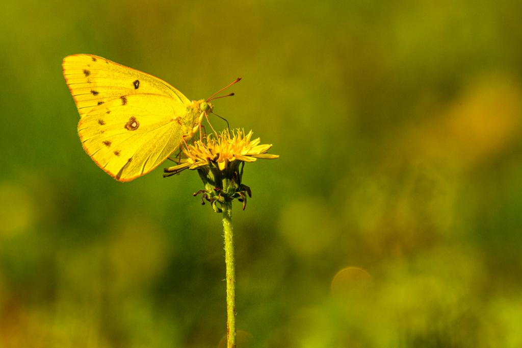 Little Yellow Butterfly