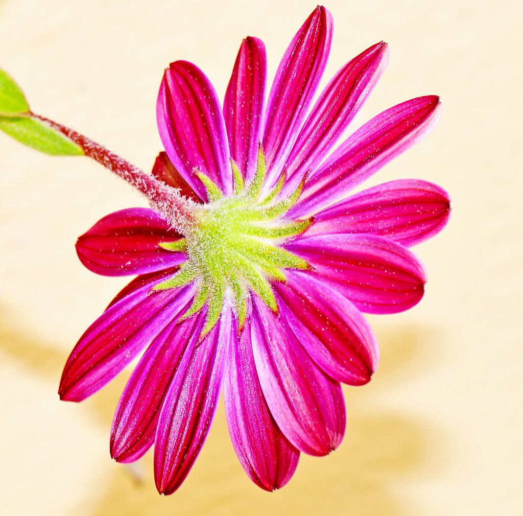 Symmetrical expansion of its petals.