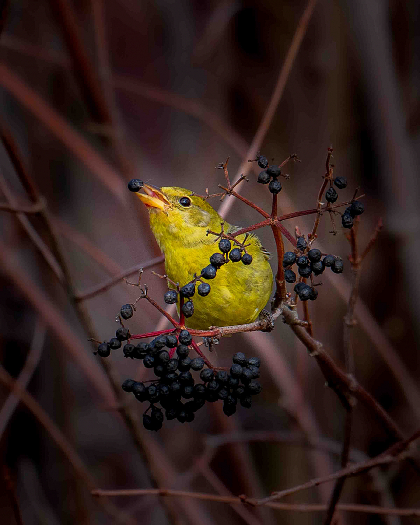 Misplaced Western Tanager