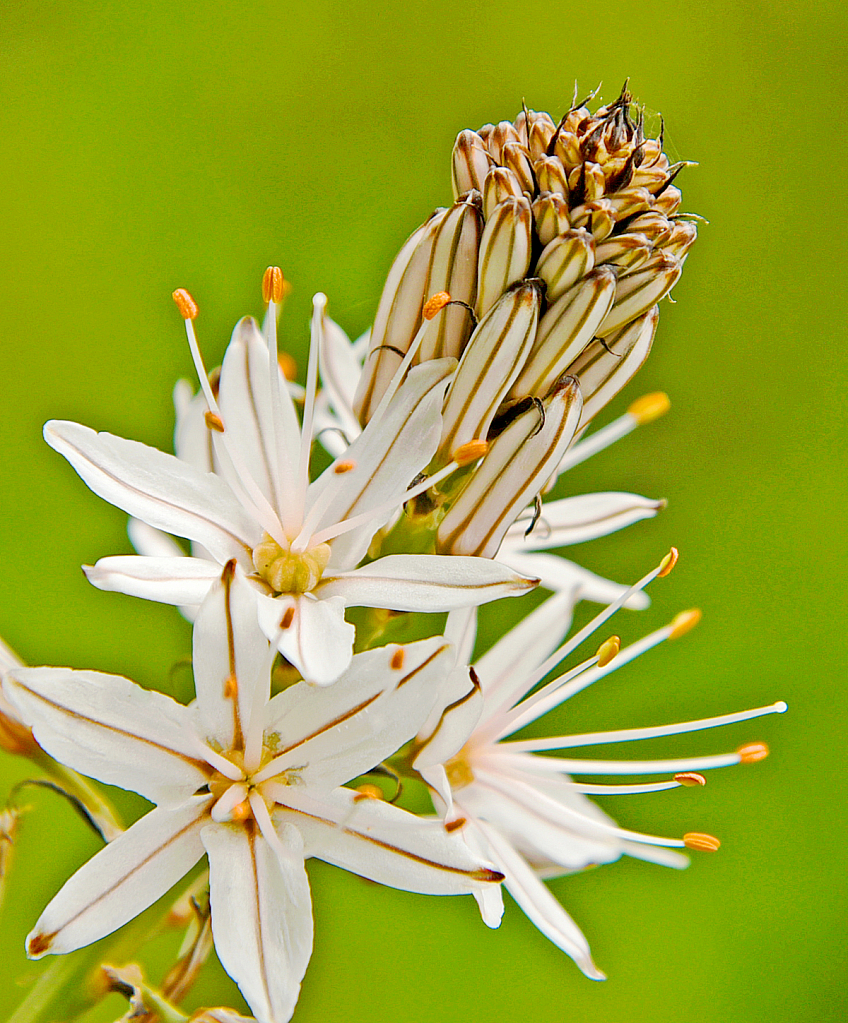 Star  flower.