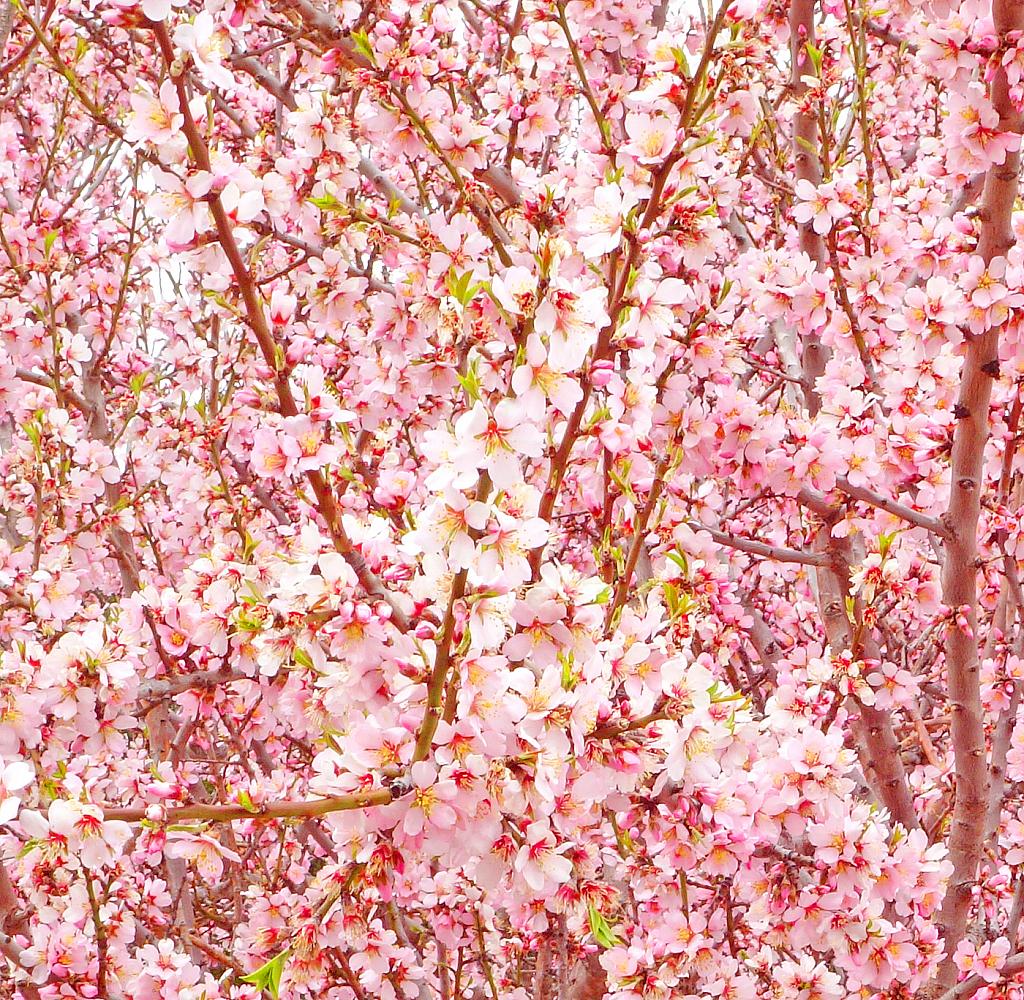Cherry in full bloom.