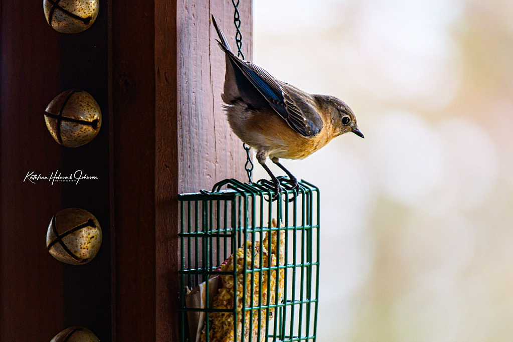 Mrs. Bluebird Is Hungry!