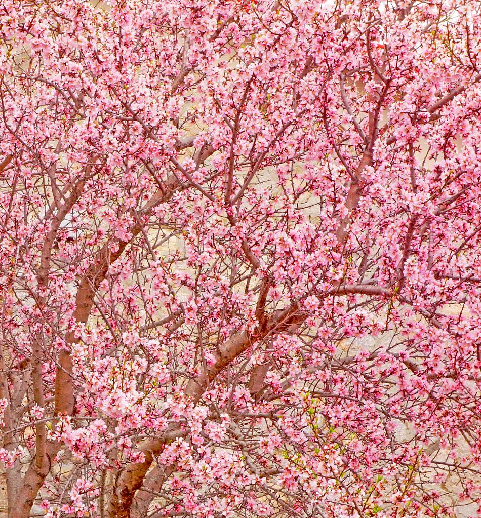 Cherry in bloom.