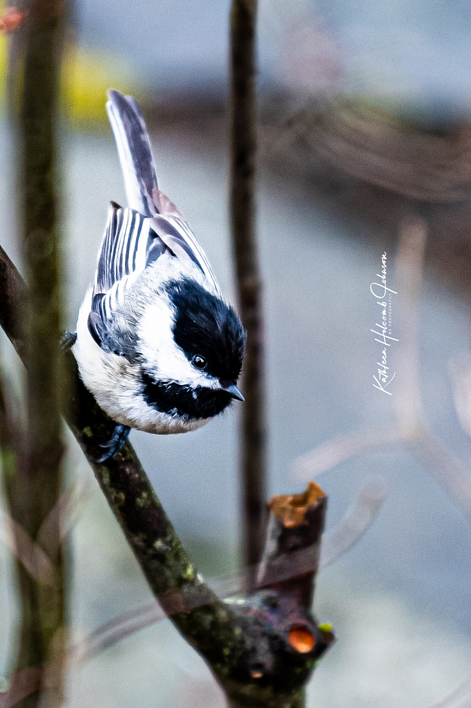 Just A Little Chickadee!