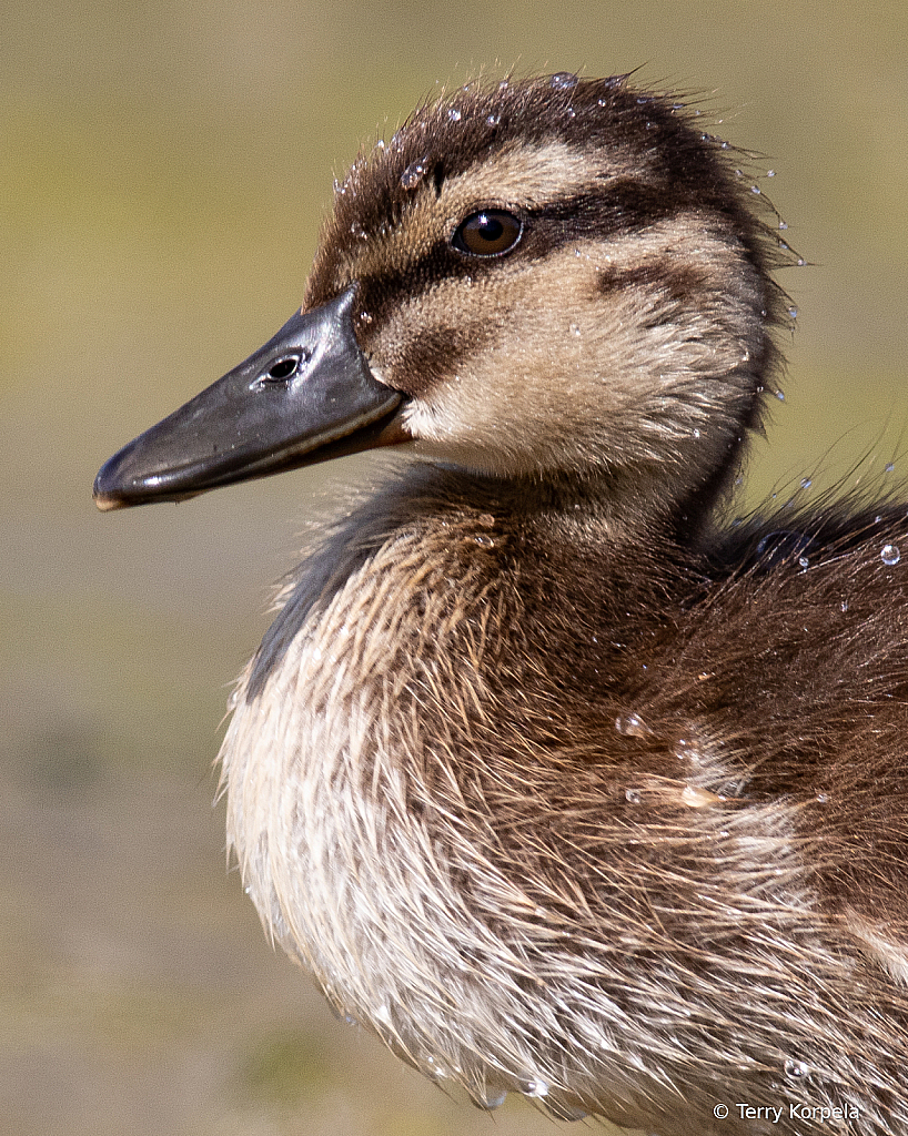 1st Duckling of 2020