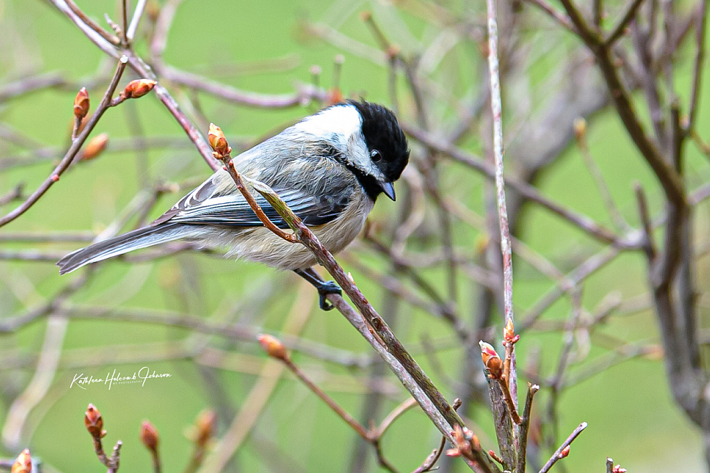 Serious Chickadee!