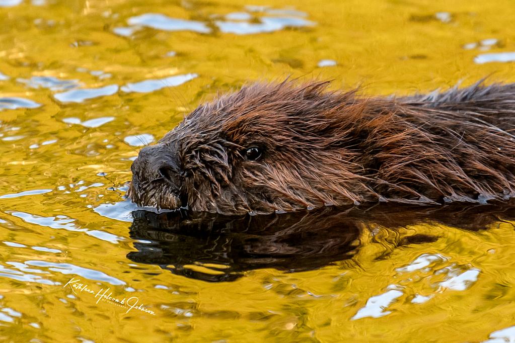 Golden Hour - Beaver Found A Pot of Gold!