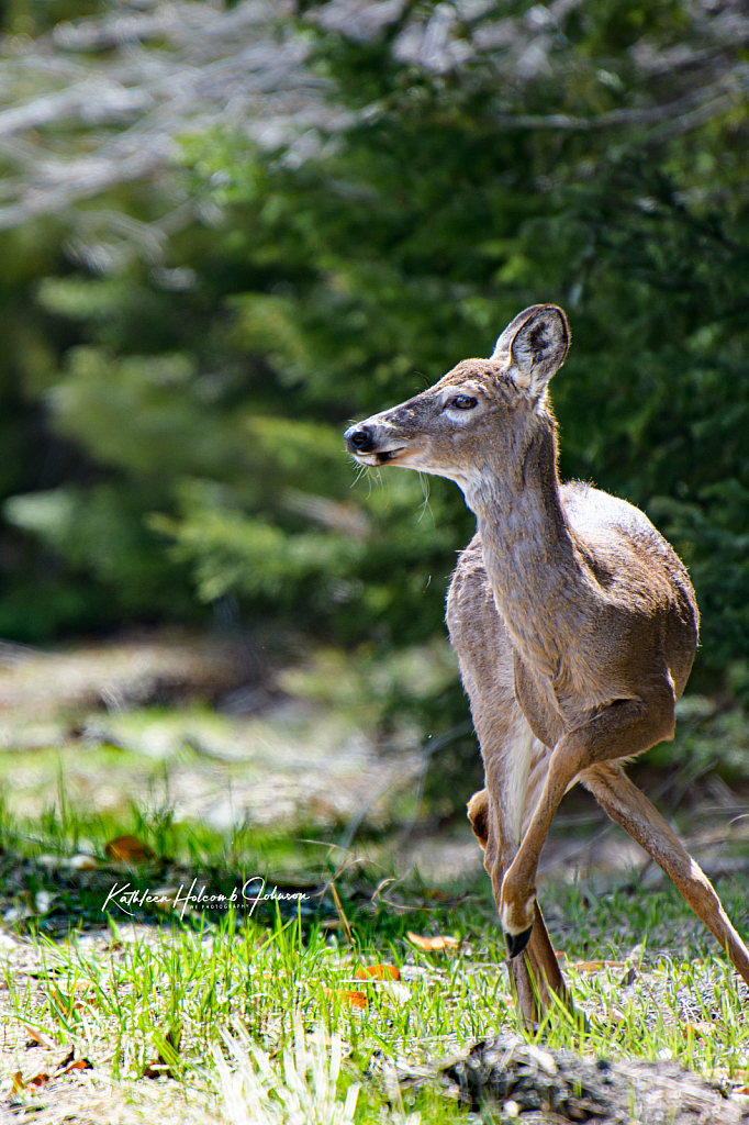 Deer About To Cross The Road! 1