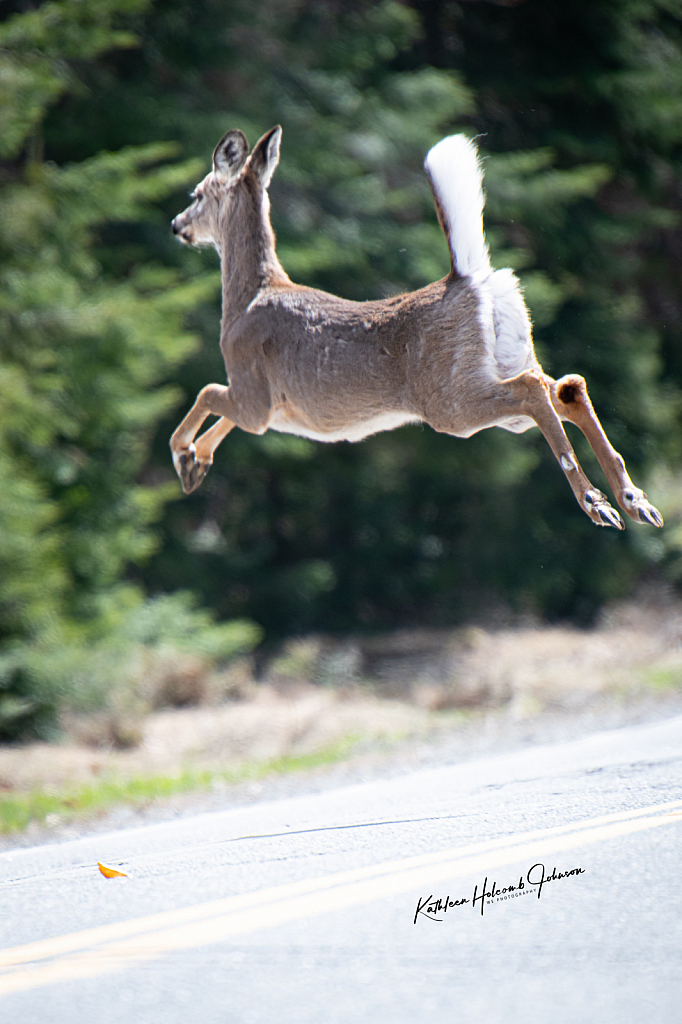 Deer Now Jumping A Cross The Road! 2