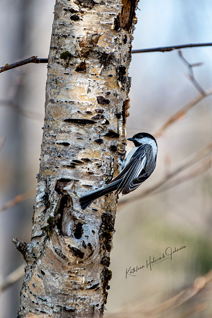 Busy Chickadee!