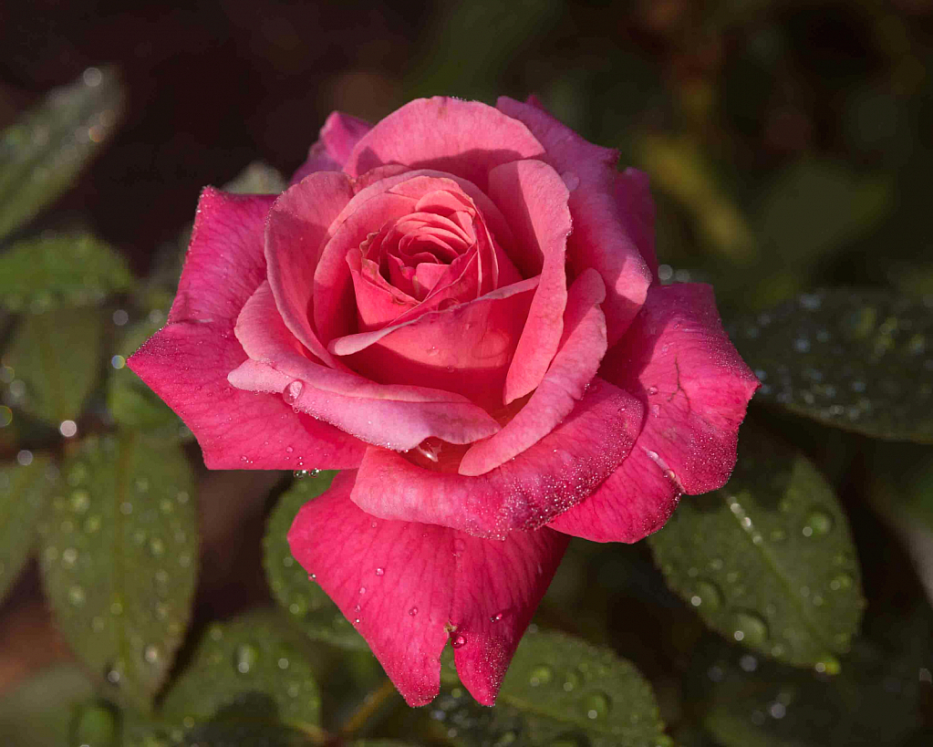Dewdrops on a Rose
