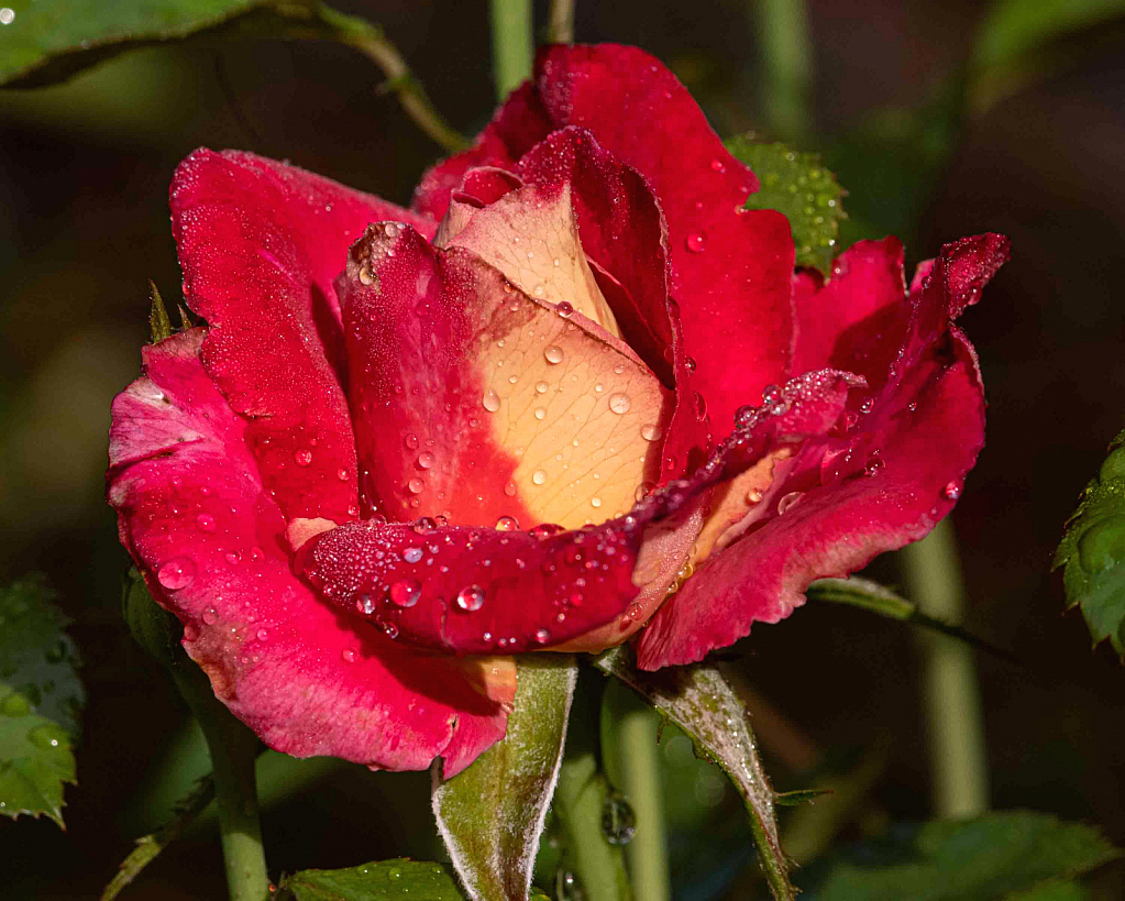 Raindrops on a Rose