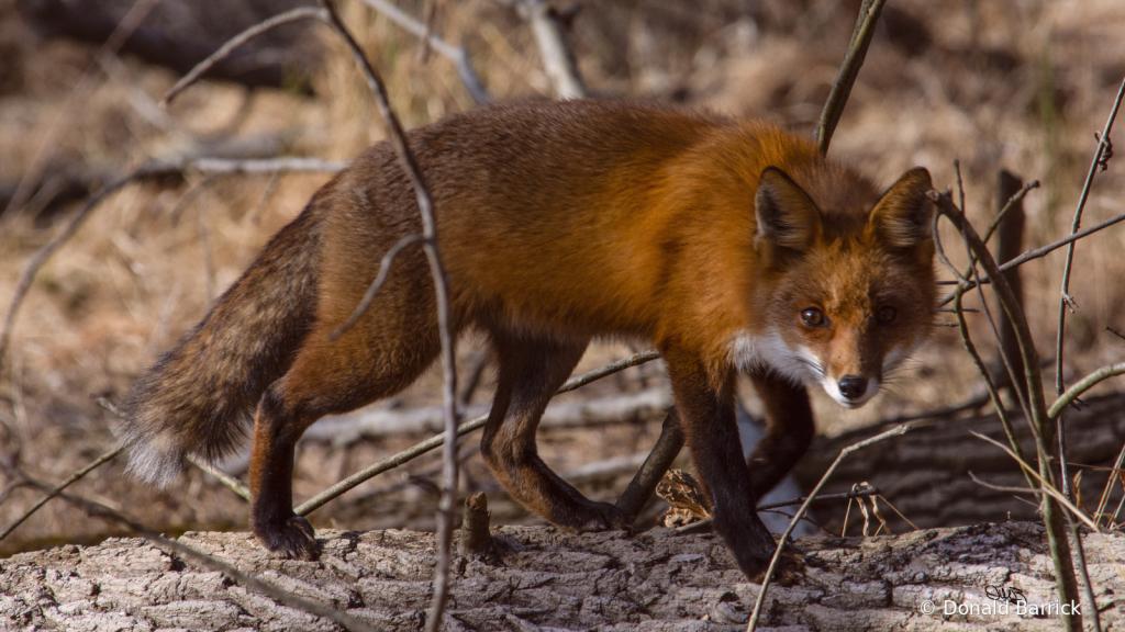 Stalking Fox - Serious Stalking