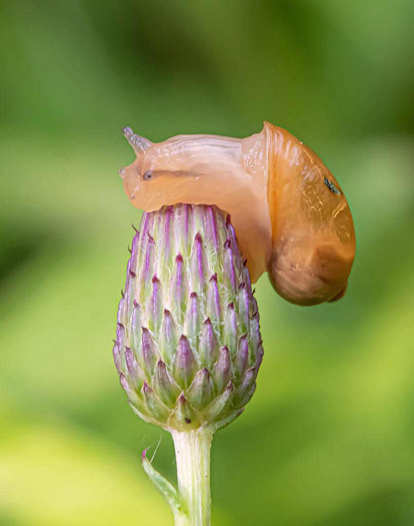 Snail Hugs a Spear Thistle Bud