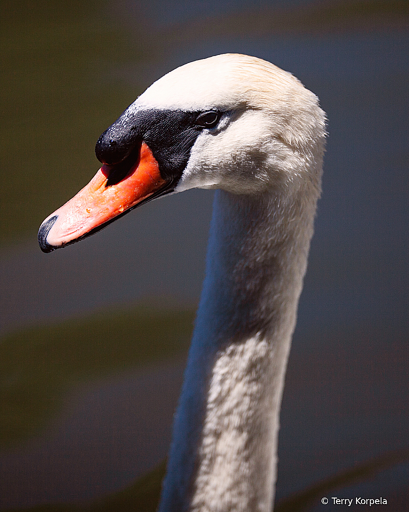 Mute Swan (Head Shot)