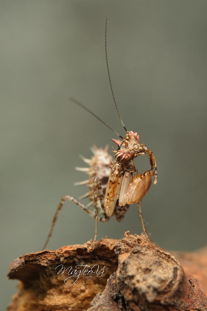 Boxer Mantis