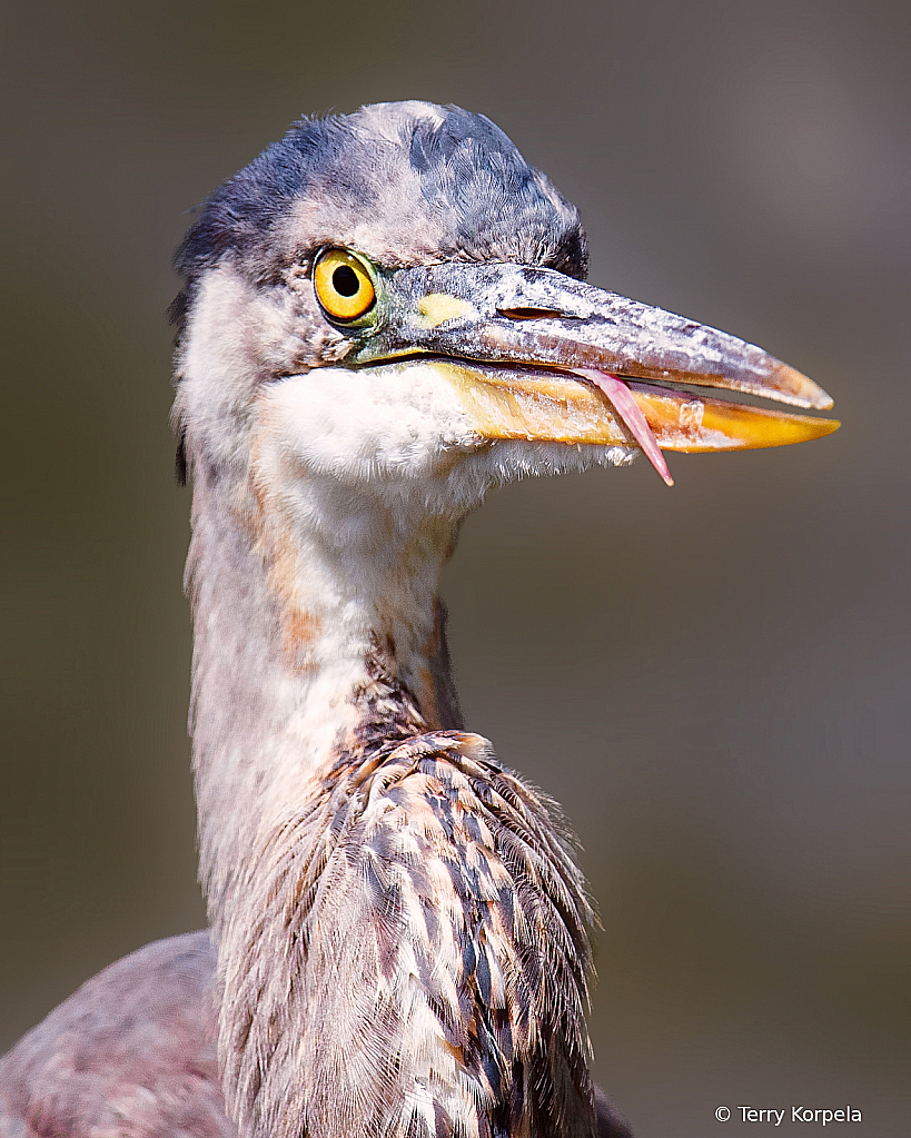 Goofy Grin on an Great Blue Heron