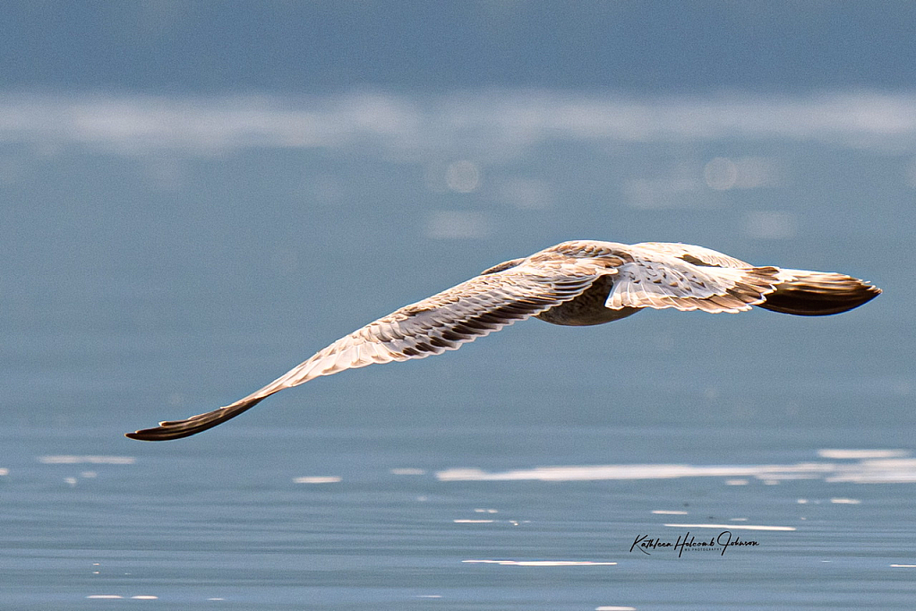 Immature Sea Gull - Taking Flight!