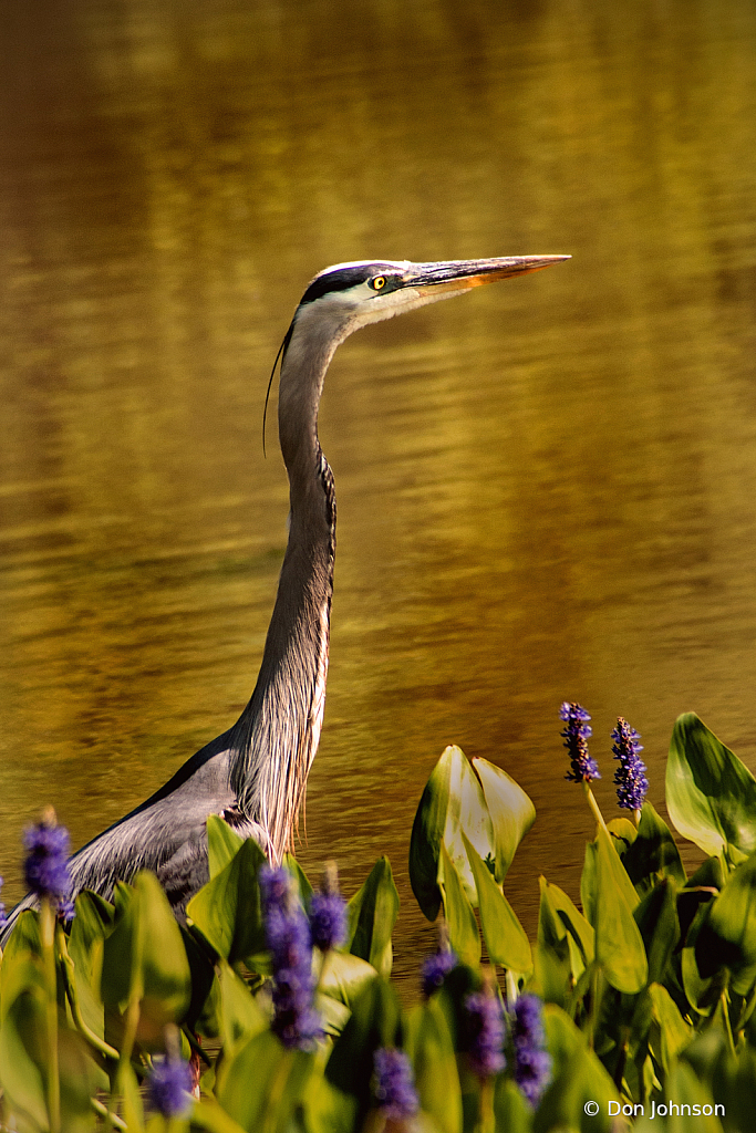 Lily Pons Great Blue Heron