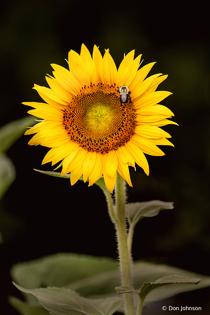 Sunflower and Bee 7-20-20 267