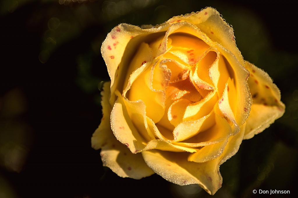 A Terrific Yellow Rose 9-20-20 166
