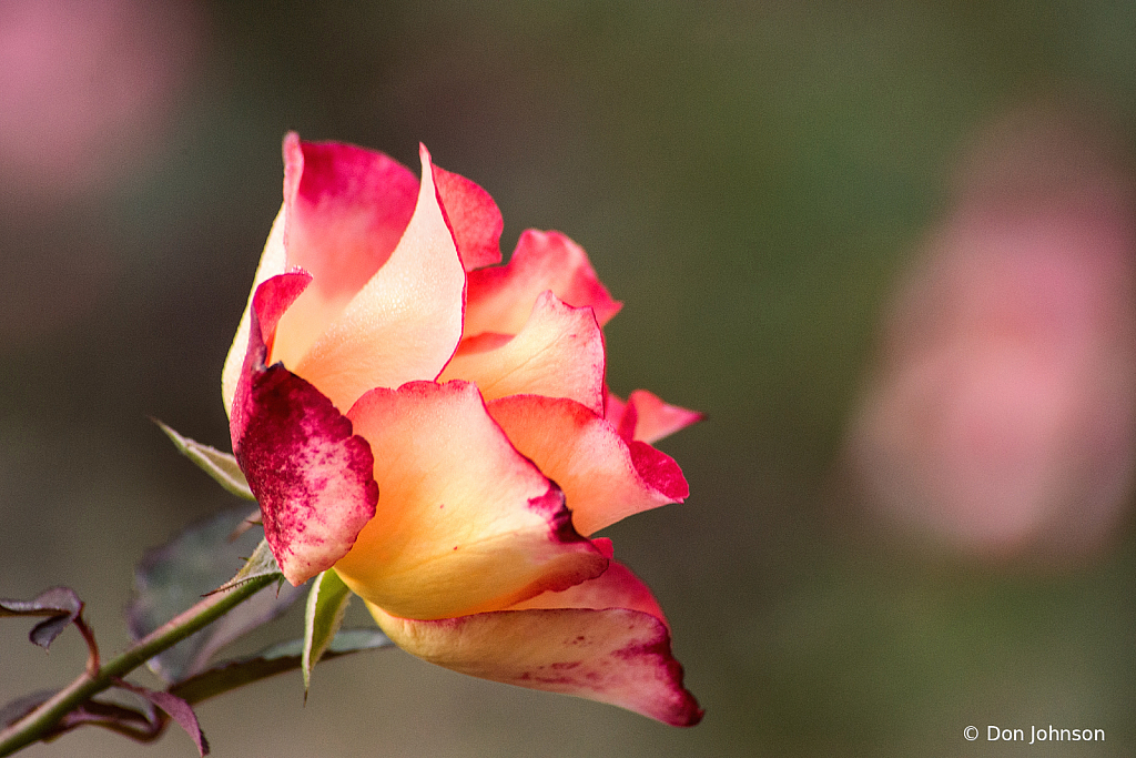 Fall Rose 10-9-20 101