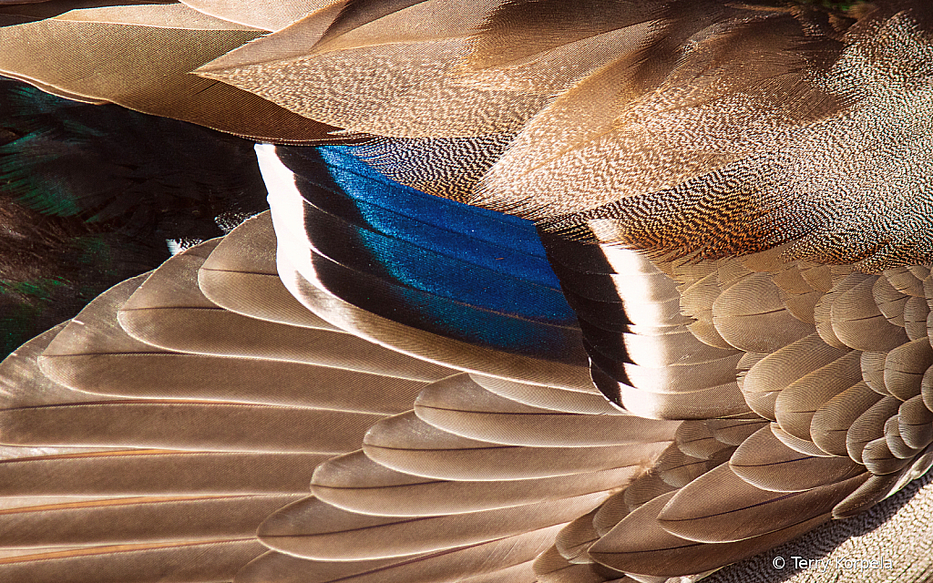 Close Up of a Male Mallards Wing