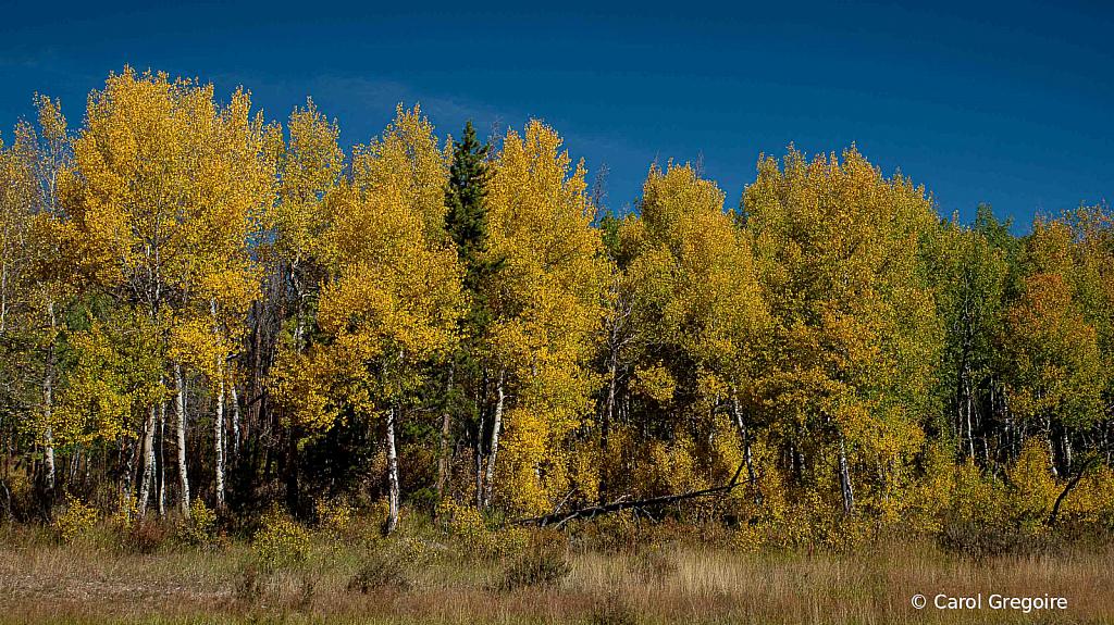 Rocky Mountain Aspens