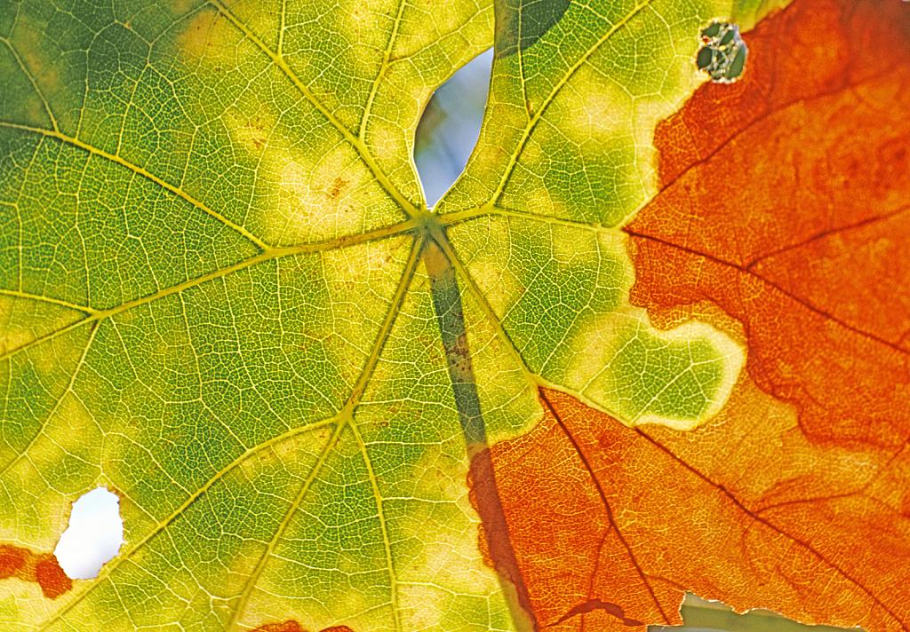 Vine Leaf color transformation.