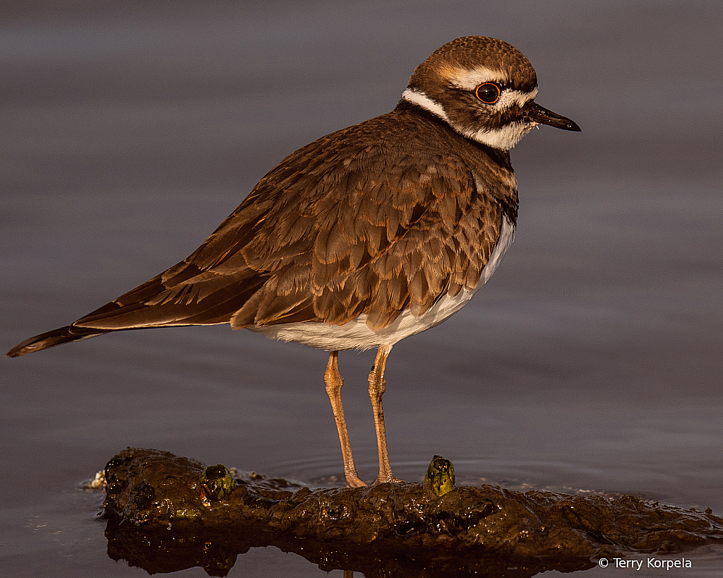 Last Light on a Killdeer