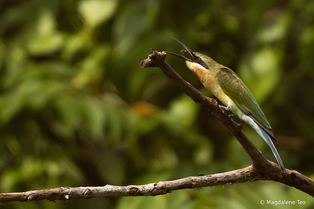 Bee Eater having its meal