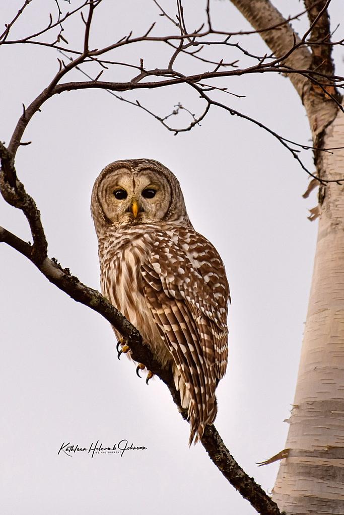 Barred Owl 2!
