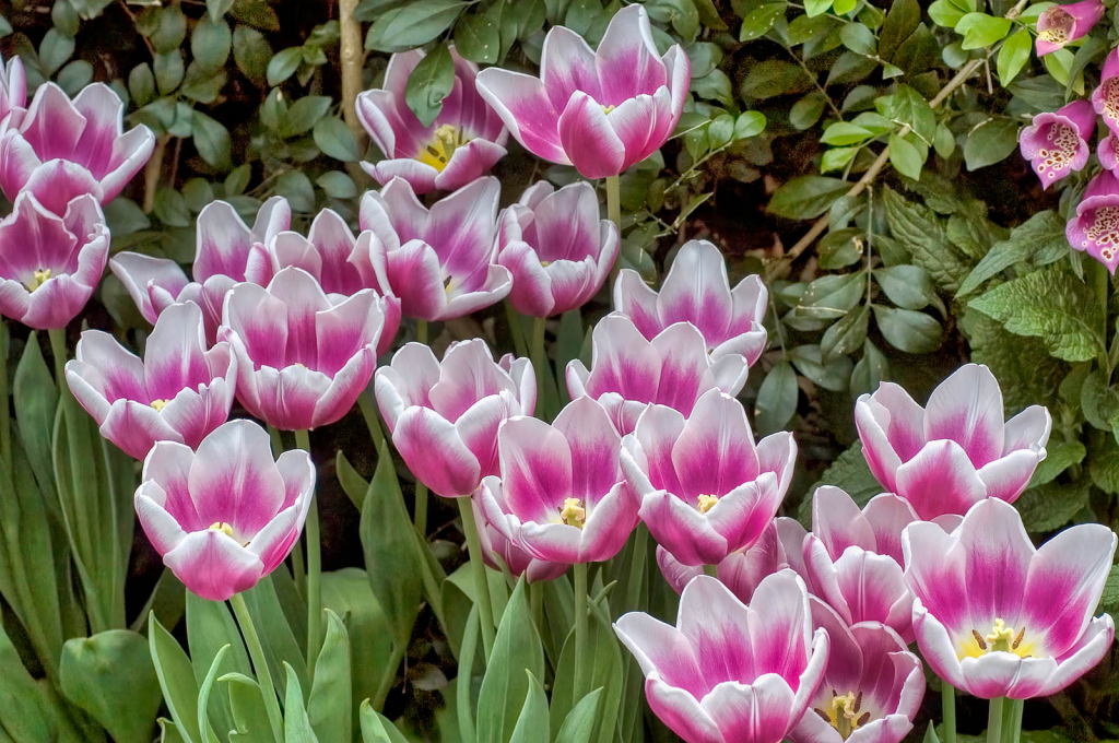 A Few More Tulips