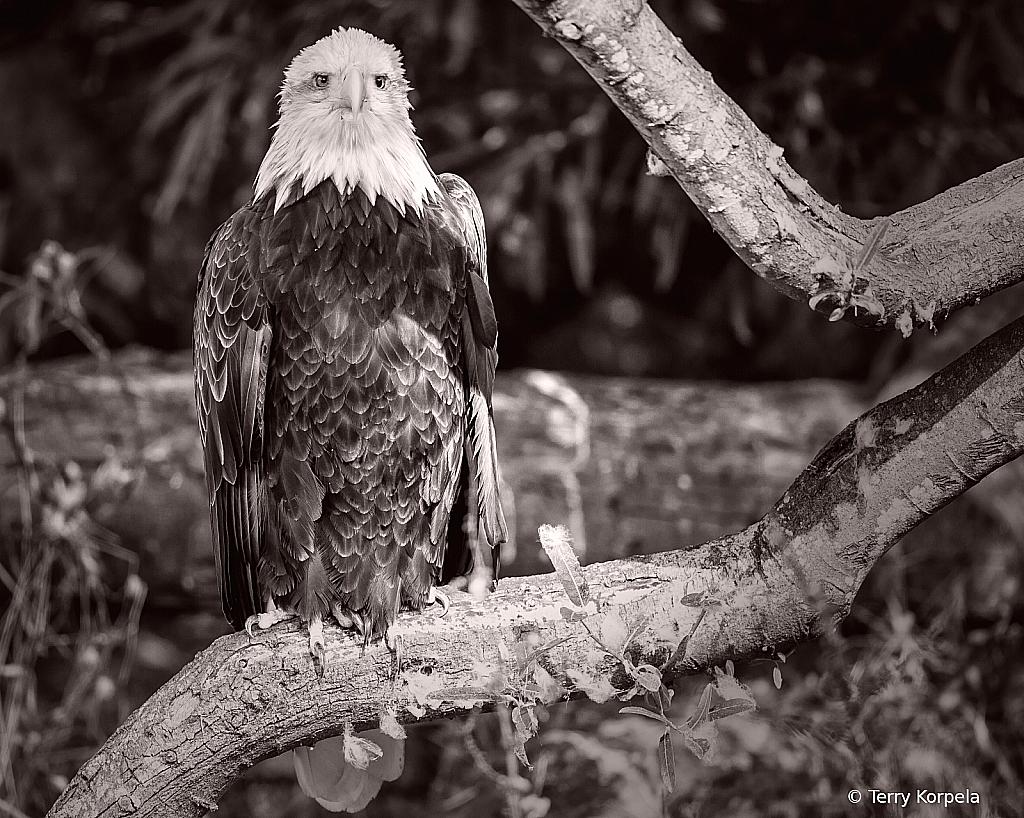 Bald Eagle Black & White