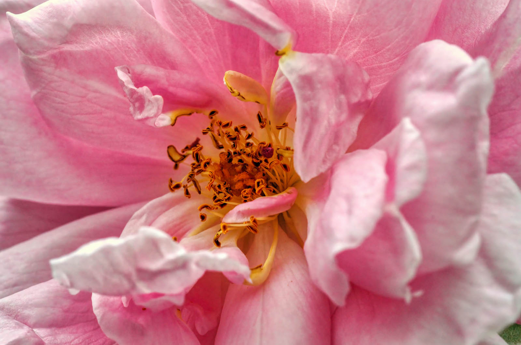 Gold Within the Pink