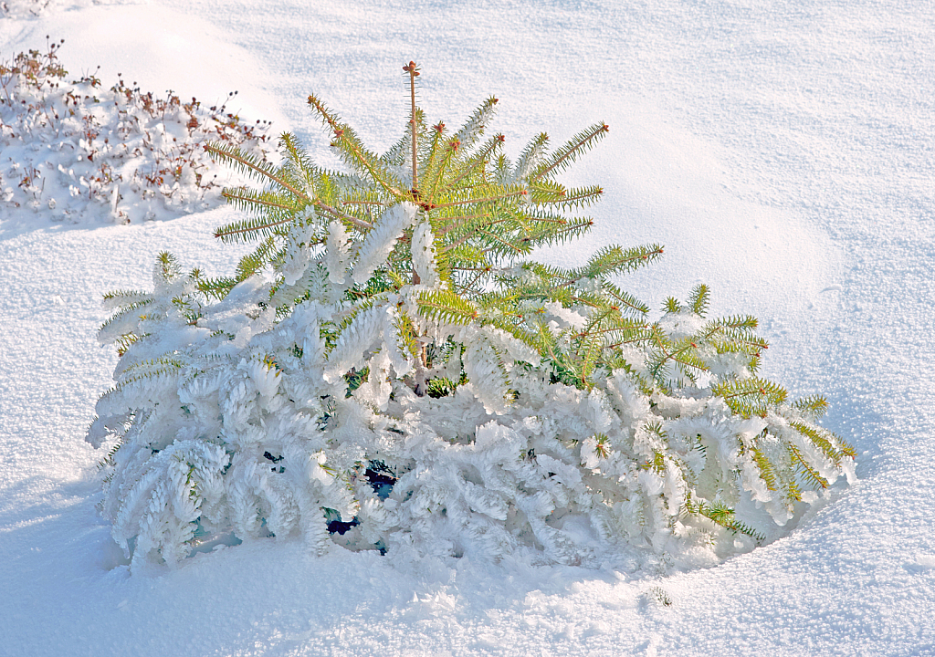 Frozen young Fir-tree.