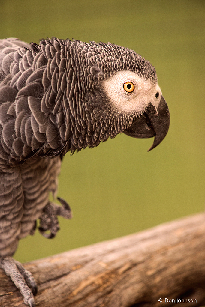 Another African Grey Parrot 9-22-19 014