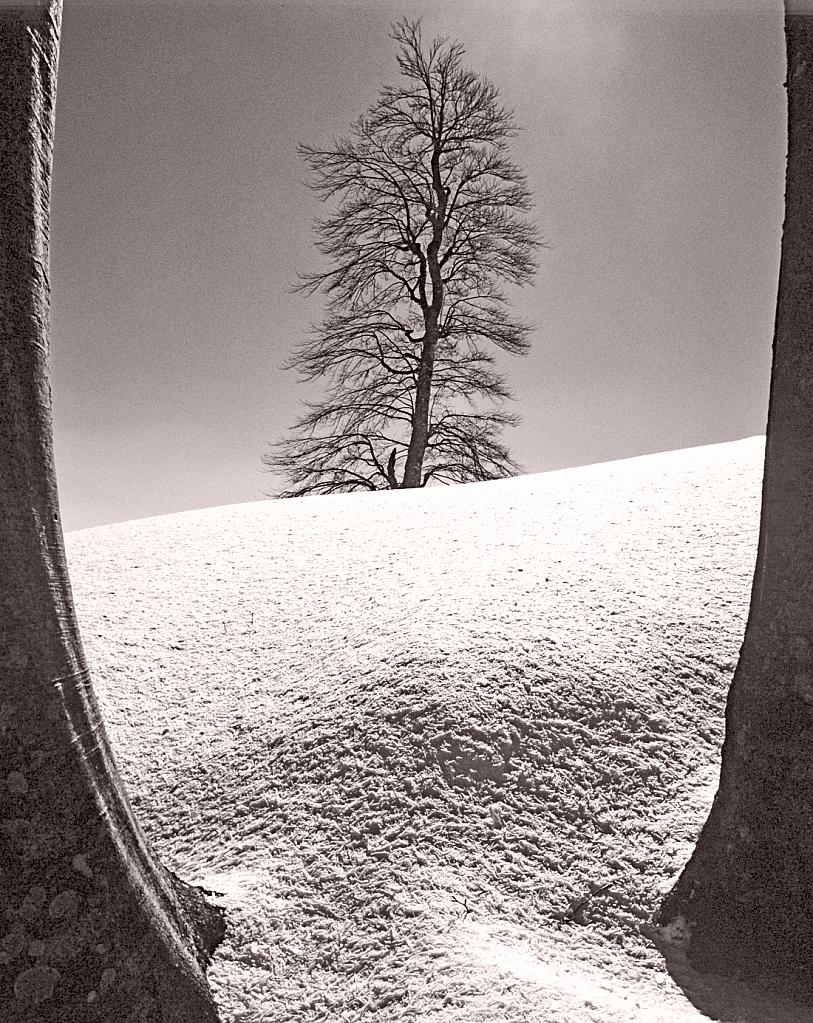 Snow and Beech tree.