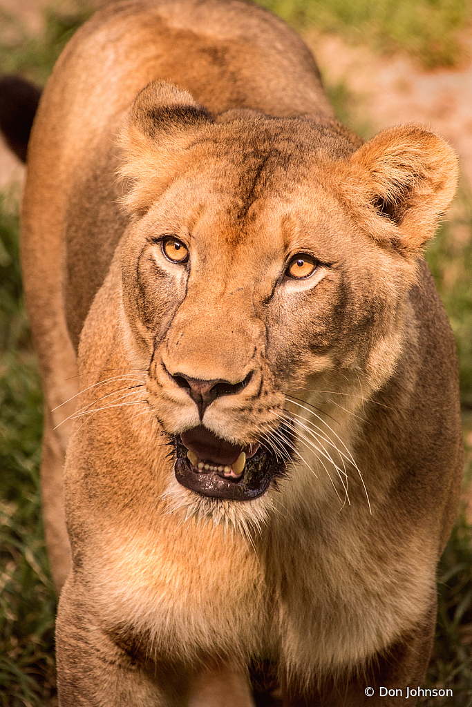 A Lioness 6-13-19 137
