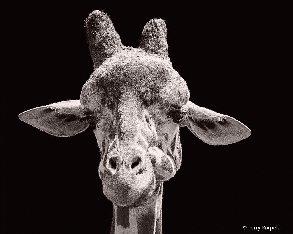 Giraffe Portrait B&W