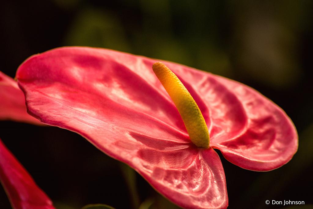 Wonderful Anthurium Flower 8-30-20 034
