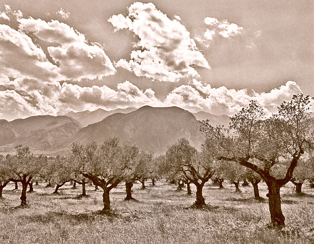 Olive trees field.