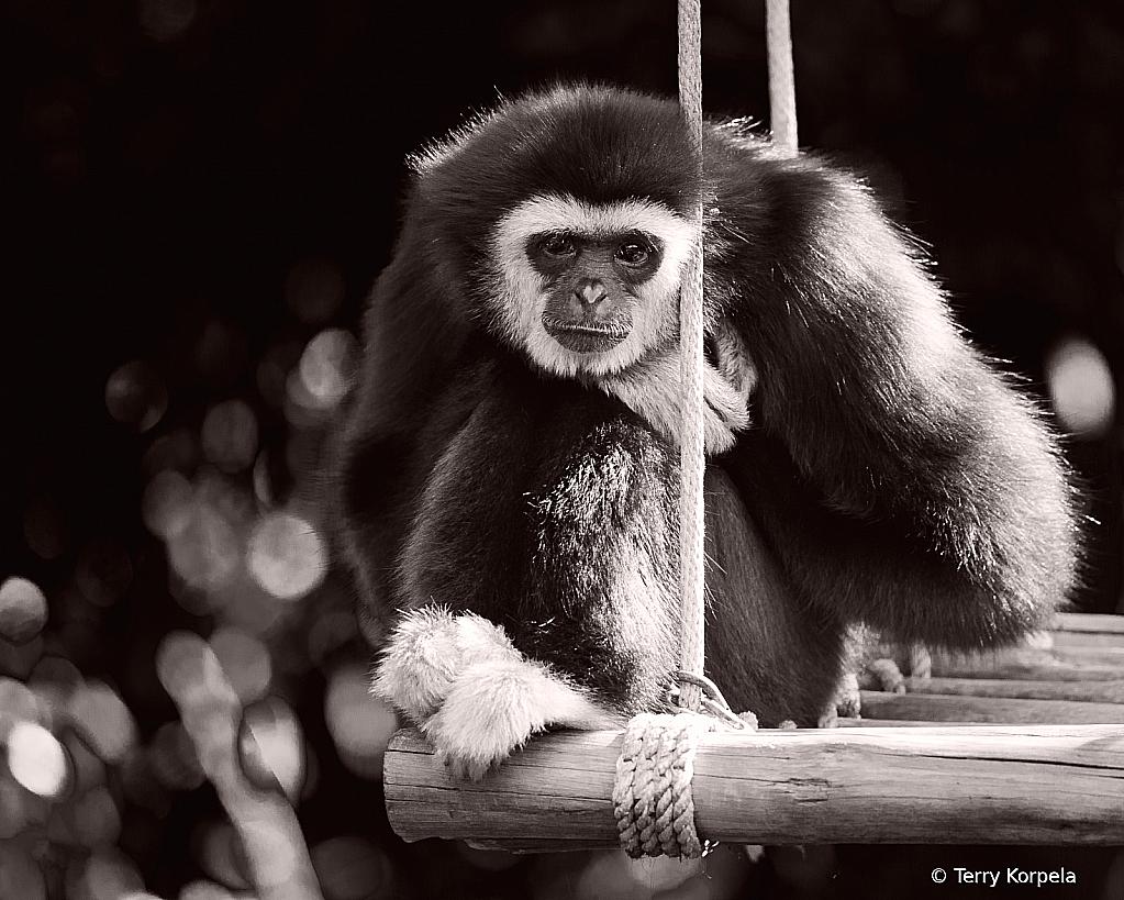 White-handed Gibbon B&W