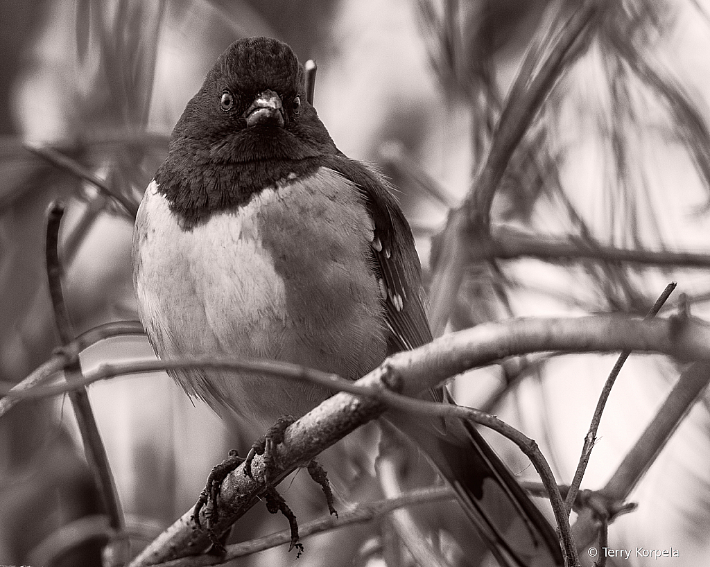 Spotted Towhee B&W