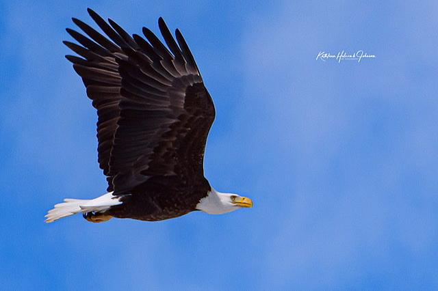 Our National Symbol - Majestic Eagle!