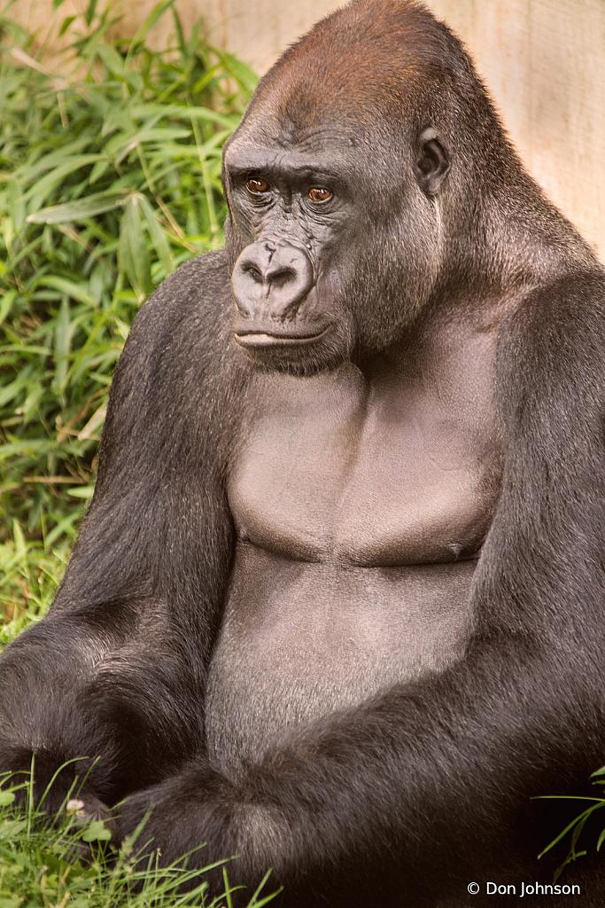 A Gorilla Thinking 6-2-19 134