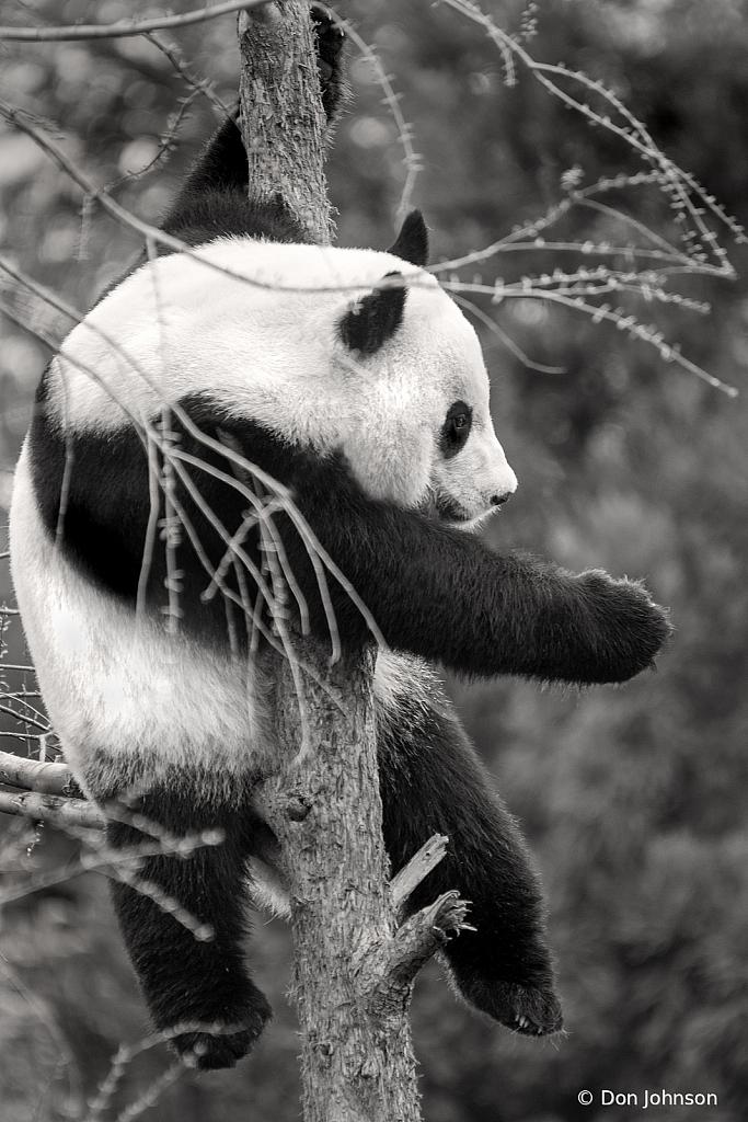 Black and White Panda Up a Tree 4-9-19 078